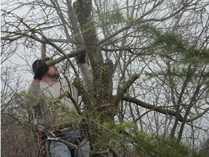 tree service - removing a dead tree